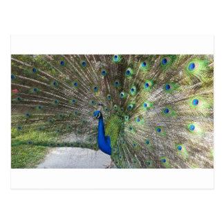 Peacock Perfection Postcard