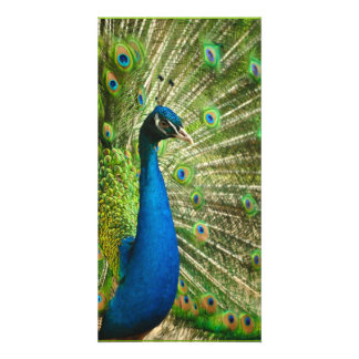 Peacock-phasianidae684 PEACOCK ROYAL BLUE GREENS Card