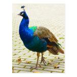 Peacock Photo Postcard