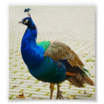 Peacock Photo Poster