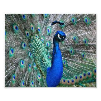 Peacock Photo Print