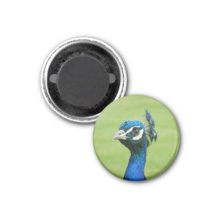 Peacock Photograph Magnet