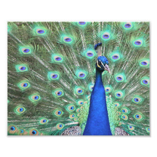 Peacock photography photo print