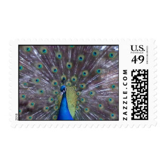 peacock stamp