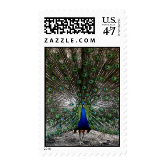 Peacock postage stamps displaying plume feathers