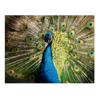 Peacock Postcards