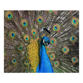 Peacock Póster