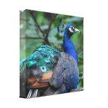 Peacock Roosting Canvas Print