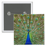 Peacock showing its feathers 2 inch square button
