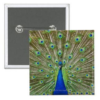 Peacock showing its feathers, as part of a 2 inch square button