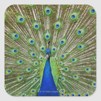 Peacock showing its feathers, as part of a square sticker