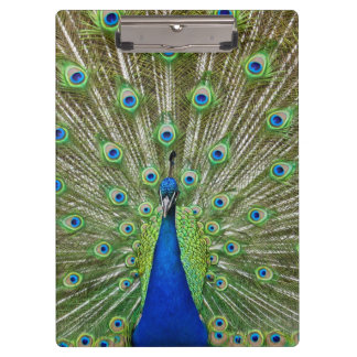 Peacock showing its feathers clipboard