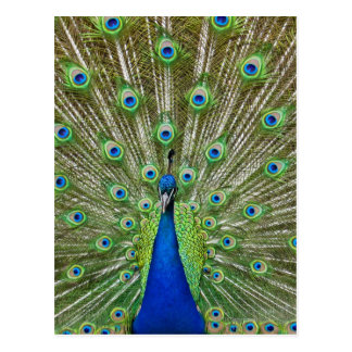 Peacock showing its feathers postcard