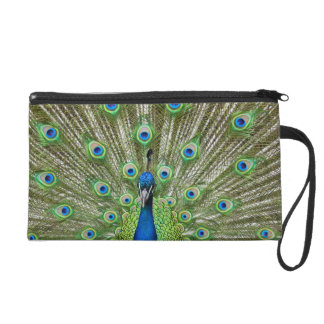 Peacock showing its feathers wristlets