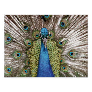 Peacock showing off for visitors poster
