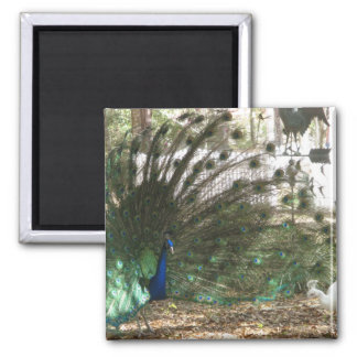 Peacock Showoff Magnets