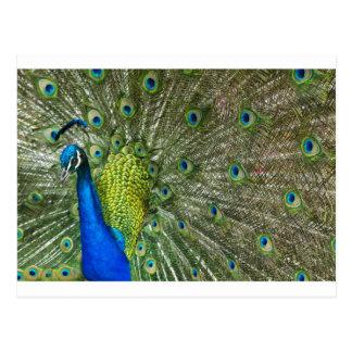 Peacock Showoff Postcard