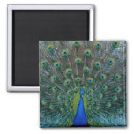 Peacock, square magnet