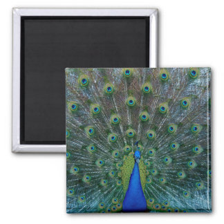 Peacock, square magnet