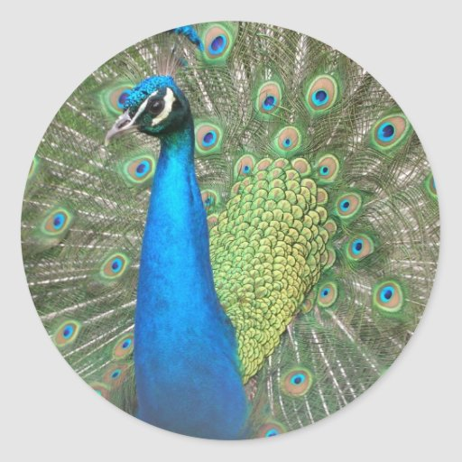 Peacock Strut 2 Stickers
