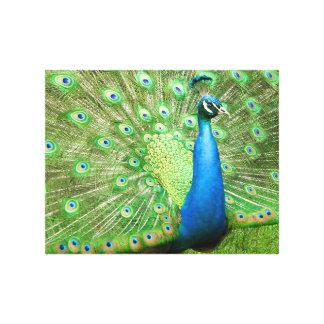 Peacock Strut Canvas Print