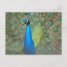 Peacock Strut postcard
