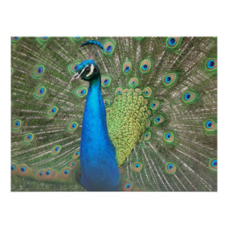 Peacock Strut Poster