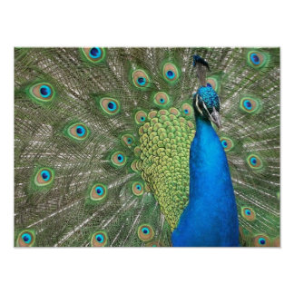 Peacock Strut Print