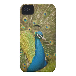 Peacock strutting iPhone 4 case