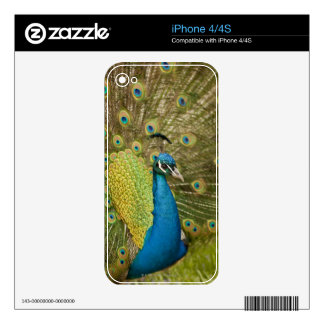 Peacock strutting iPhone 4S decal