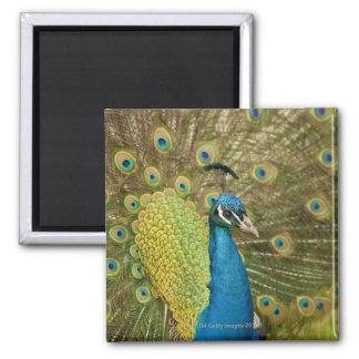 Peacock strutting fridge magnets