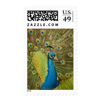 Peacock strutting postage