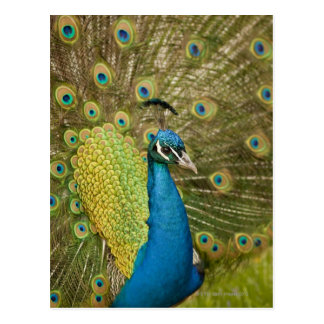 Peacock strutting postcard