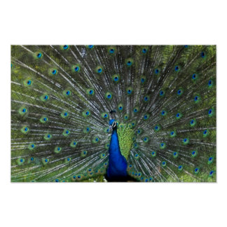 Peacock Strutting Poster