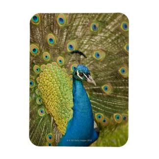 Peacock strutting vinyl magnet