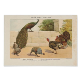 Peacock,Turkey, ang Guinea-Fowl Poster