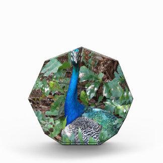 Peacock Under A magnolia Tree Acrylic Award