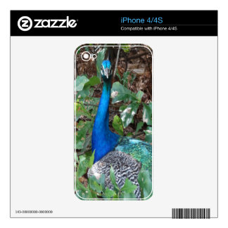 Peacock Under A magnolia Tree iPhone 4 Decals