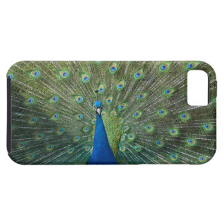 Peacock with Fanned Tail Feathers iPhone 5 Case