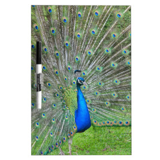 Peacock with open tail dry erase board