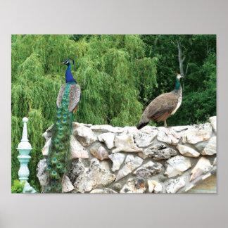Peacocks in a garden Photo Poster Paper