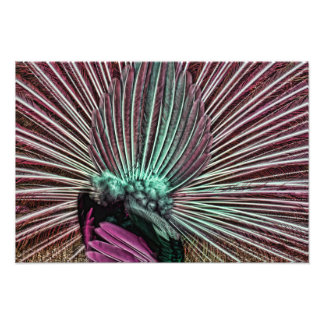 Peacock's Tail - Fabulous Feathers Pink and Green Photograph