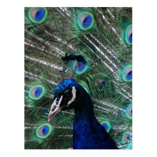 Peafowl Bird Postcard