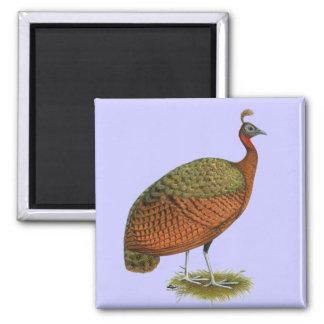 Peafowl:  Congo Peahen Iman De Nevera