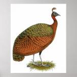 Peafowl:  Congo Peahen Print