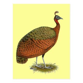 Peafowl:  Congo Peahen Postal
