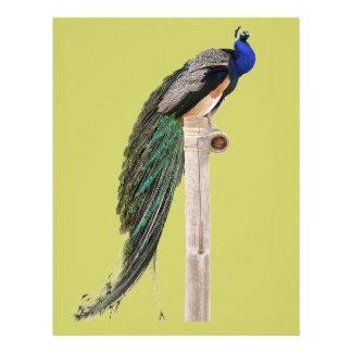 Peafowl indio aislado en perca plantilla de membrete