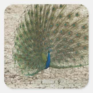 Peafowl indio, pavo real, exhibición masculina del pegatinas cuadradases