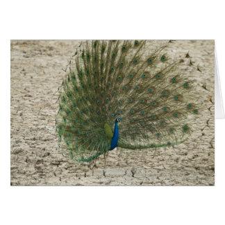 Peafowl indio, pavo real, exhibición masculina del tarjeta de felicitación