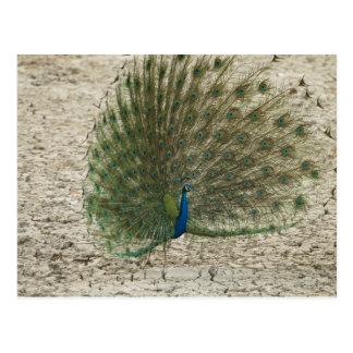 Peafowl indio, pavo real, exhibición masculina del tarjetas postales